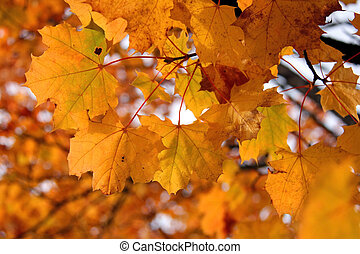 Yellow Leaves of Maple Tree in Autumn