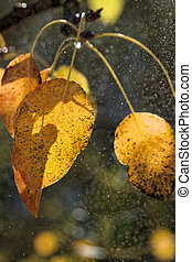 Yellow Leaves of Wild Pear - Yellowed leaves of wild pear...