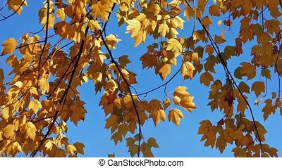 Yellow Leaves On A Blue Sky - Tree branches with vibrant...