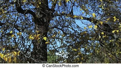 Yellow leaves on a tree - In the autumn park a tree with...