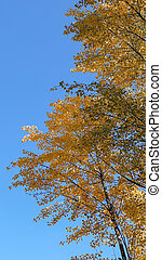 yellow leaves on a tree with blue sky