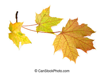 yellow leaves on a white background