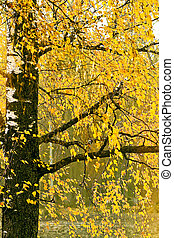 Yellow leaves on an autumn birch