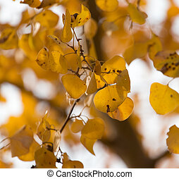 Yellow leaves on autumn trees as a background