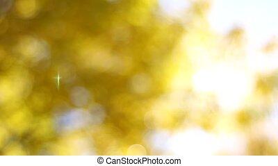 Yellow Leaves on Beech Trees Bokeh