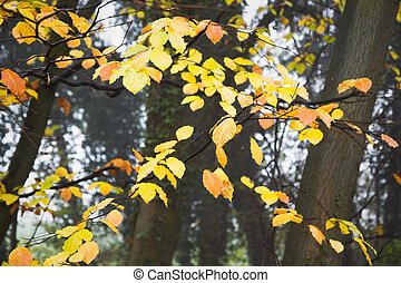 Yellow leaves on beechtrees in autumn