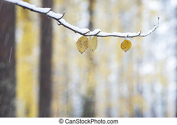 Yellow leaves on birch tree on snowy autumn day