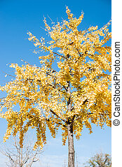 Yellow leaves on the tree amoung sky background