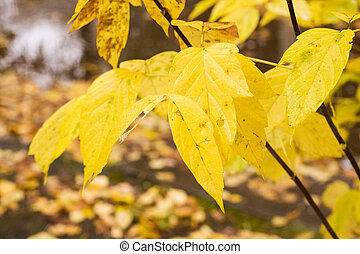 Yellow leaves on tree branches with dew drops