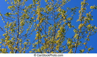 Yellow Leaves On Trees In Breeze - Tree branches with yellow...