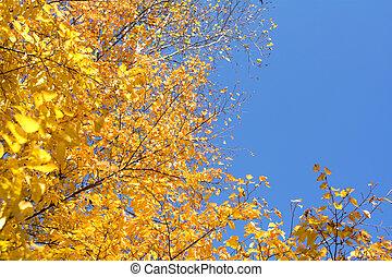 Yellow leaves - Autumn Carpinus tschonoskii yellow leaves...