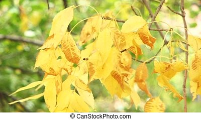 Yellow Leaves - The wind blows and shakes the leaves. Focus...