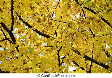 Yellow leaves tree in autumn with blue sky in background