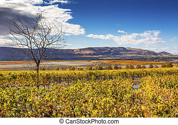 Yellow Leaves Vines Rows Grapes Fall Vineyards Red Mountain ...