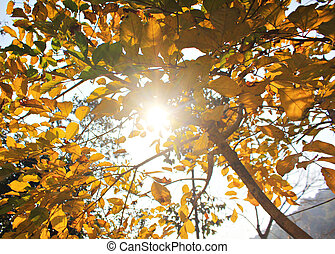 yellow leaves with bright sun