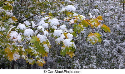 Yellow leaves with Snow