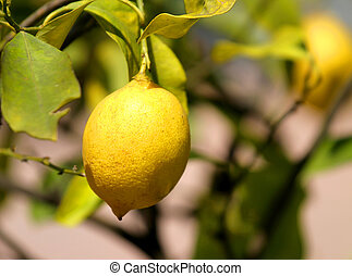 Sicilian lemon yellow on the soles of the Orchard