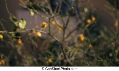 Yellow lemons on a lemon tree