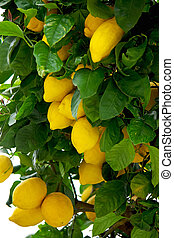 Yellow lemons on lemon tree.