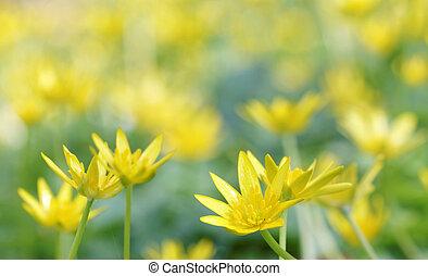 Yellow lesser celandine flowers