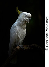 Yellow lesser sulphur-crested cockatoo in the dark