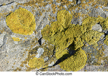 Yellow lichen by the sea in macro