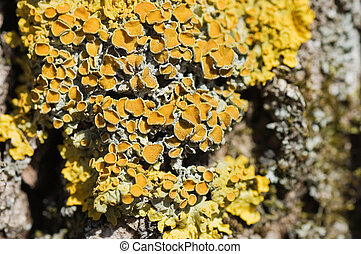 Yellow lichen on a tree bark
