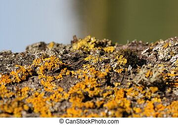 Lichen - Yellow Lichen on a Tree Trunk, in and out of focus