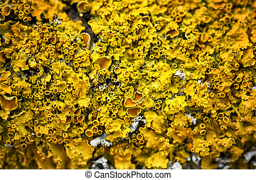 Yellow lichen on the tree