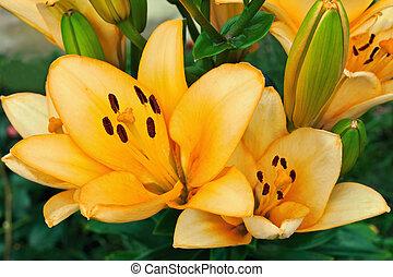 yellow lilies in a garden