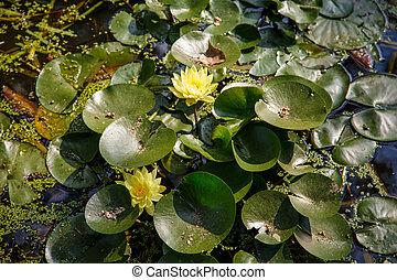 Yellow Lillies Among Lilly Pads