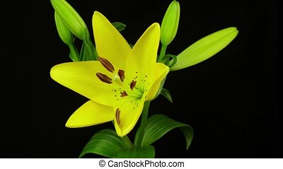 Yellow lily blooming - Isolated lily flowerr blooming...