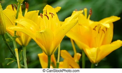 Yellow Lily flower after rain