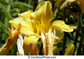 Yellow lily flower in garden