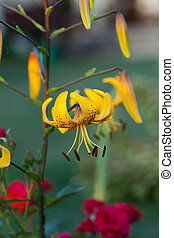 yellow lily flower in garden