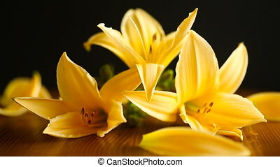 Yellow Lily flowers and buds on a black background
