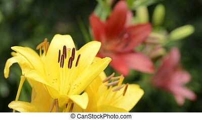 Yellow lily flowers - Yellow asian lily flowers(lilium...
