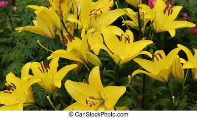 Yellow lily flowers in close up