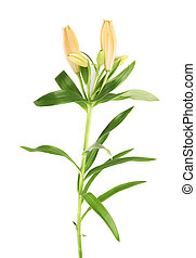 Yellow lily lilium flower isolated