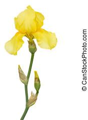 yellow lily on white - gelbe lilie, iris, freigestellt