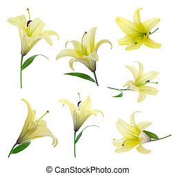 yellow lily - a lot of yellow lily on white background