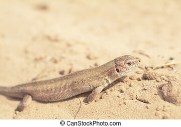 Yellow lizard in nature on the sand in the sunny day
