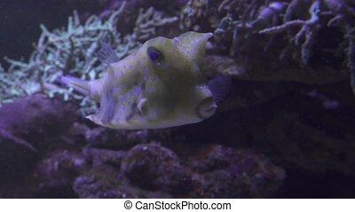 Yellow longhorn cowfish in saltwater aquarium stock footage...