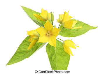 Yellow loosestrife flower and leaves