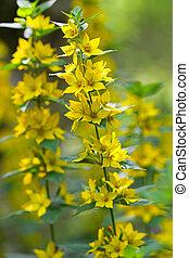 Yellow Loosestrife flower (Lysimachia vulgaris) - Closeup of...