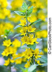 Yellow Loosestrife flower - Closeup of Yellow Loosestrife...