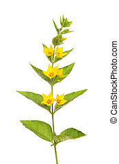 Yellow loosestrife,Lysimachia vulgaris, flowers and foliage...