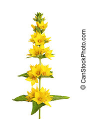 Yellow loosestrife wild flowers isolated against white