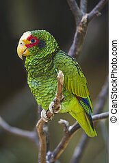The Yellow Lored Parrot (Amazona xantholora) is native to Belize, Honduras, and Mexico.