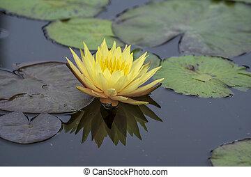 Yellow lotus flower in a pond, Vietnam. Closeup - Yellow ...